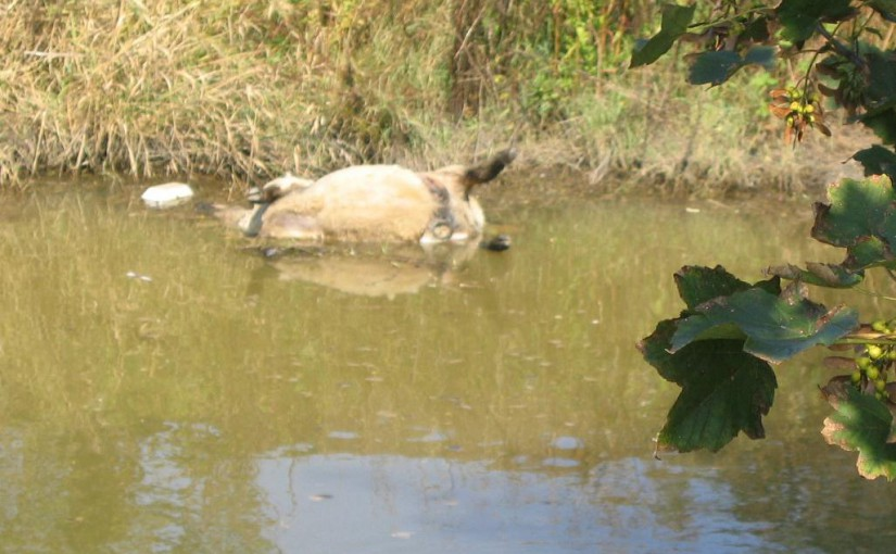Environment Agency Remove Two Dead  Sheep From The Tillingham