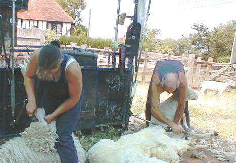 Shearing at Salts Farm