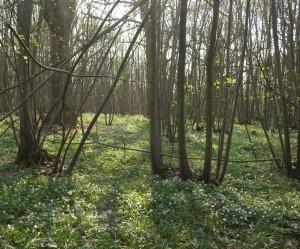 Wild Boar Country  -  Woods near Rye