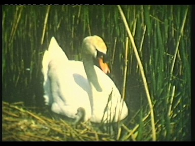 Swan Lake – Filmed at Winchelsea Beach
